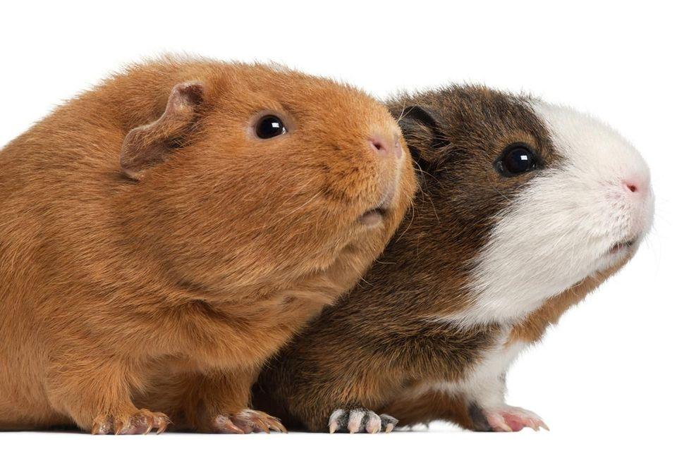 Интересные факты о морских свинках для детей и взрослых - сайт о домашних питомцах