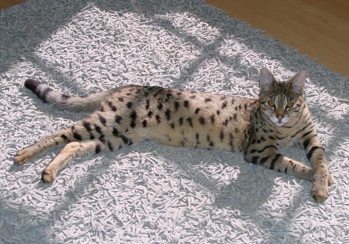 Ашера кошка: описание породы