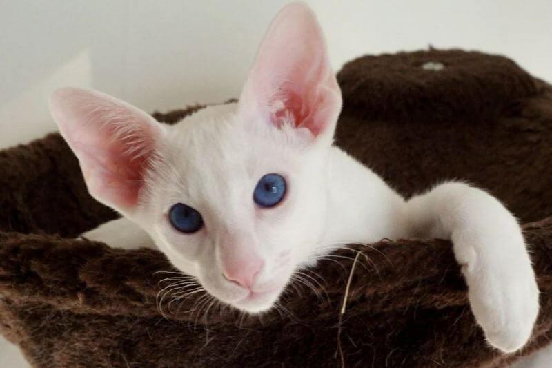 Порода кошки форин вайт: характеристики, фото, характер, правила ухода и содержания - petstory