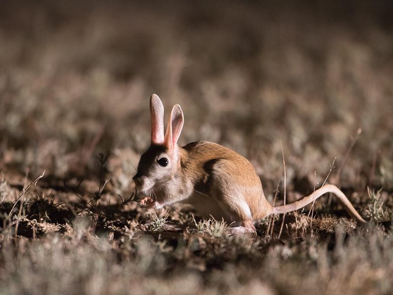 Прыгунчик животное. образ жизни и среда обитания прыгунчика   животный мир