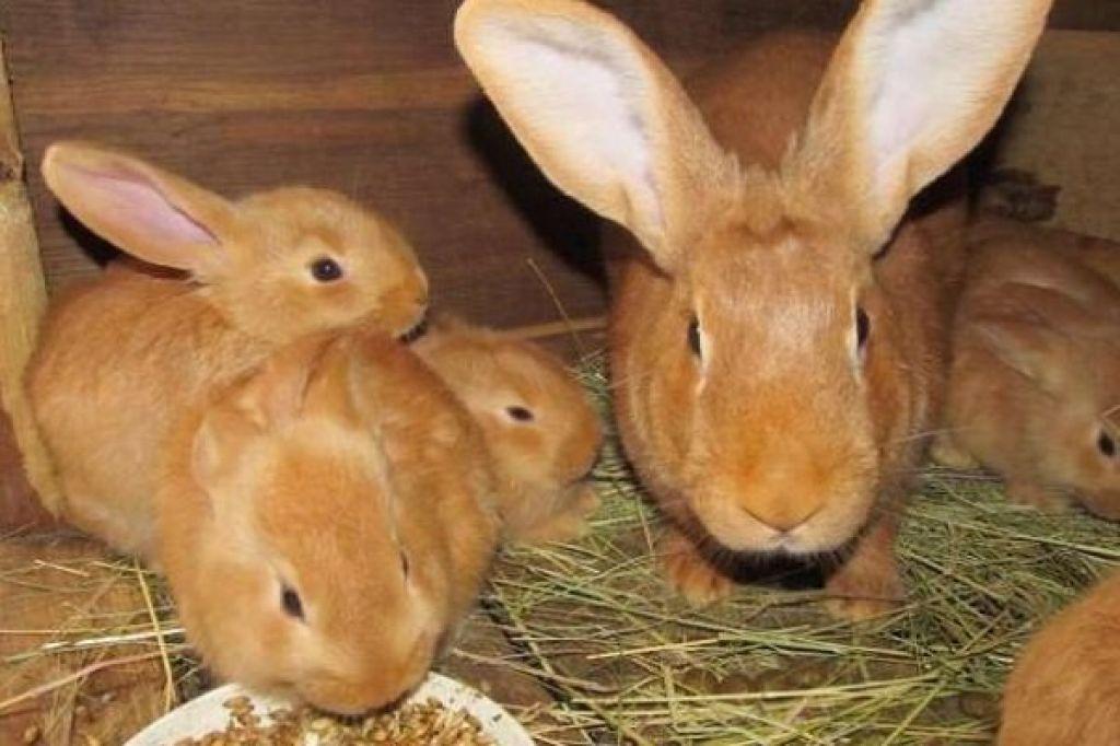 Кролики бургундской породы. описание, фото, содержание, отличия от новозеландского, плюсы и минусы породы в 2021 году