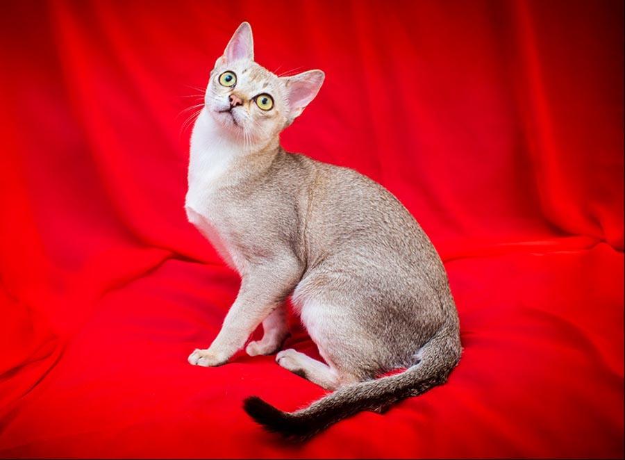 Сингапурская кошка (фото): описание внешности и характера сингапура, сколько живет, чем питается, как относится к человеку