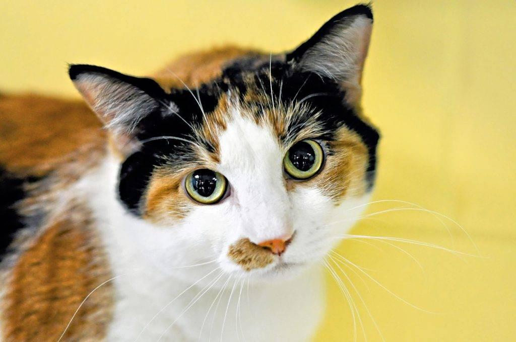 Приметы и поверья о трехцветных кошках
