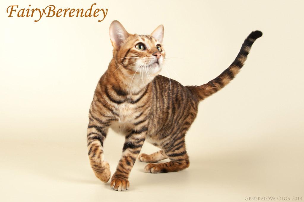 Тойгер: описание породы кошек, фото и видео материалы, отзывы о породе