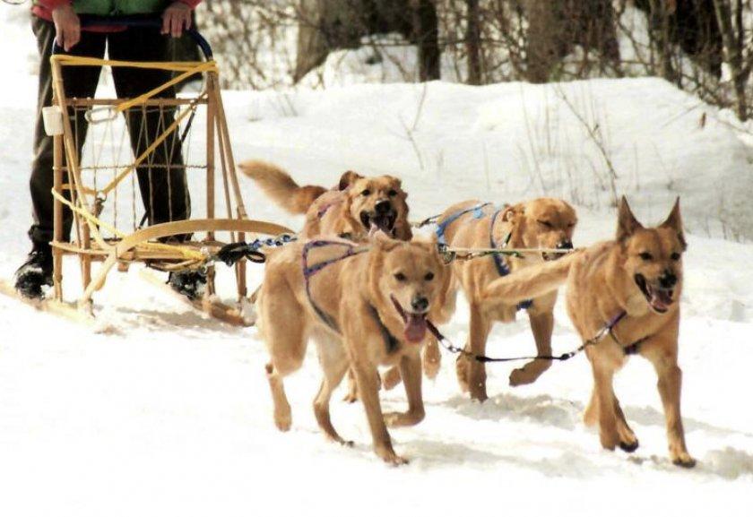 Порода собак ши-тцу описание породы с фото, видео разновидности, уход, отзывы, цена