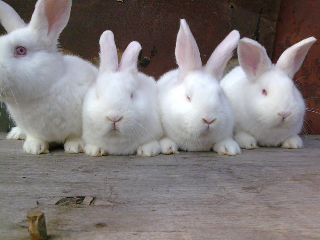 Новозеландский кролик — внешний вид, продуктивные качества и способ выращивания