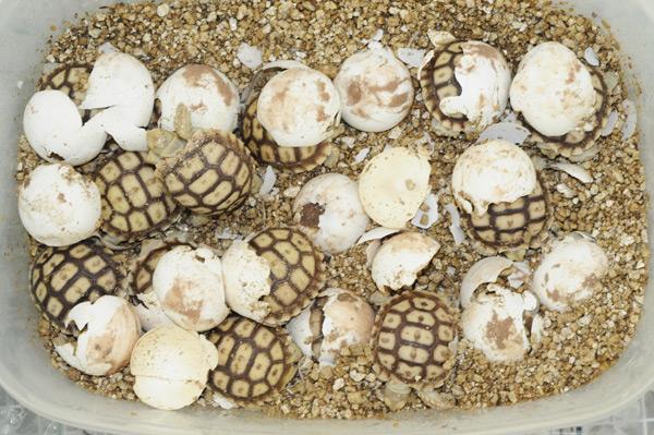 ᐉ как рождаются черепашки: вылупление из яиц новорожденных детенышей красноухих и сухопутных черепах в дикой природе и домашних условиях - zoopalitra-spb.ru