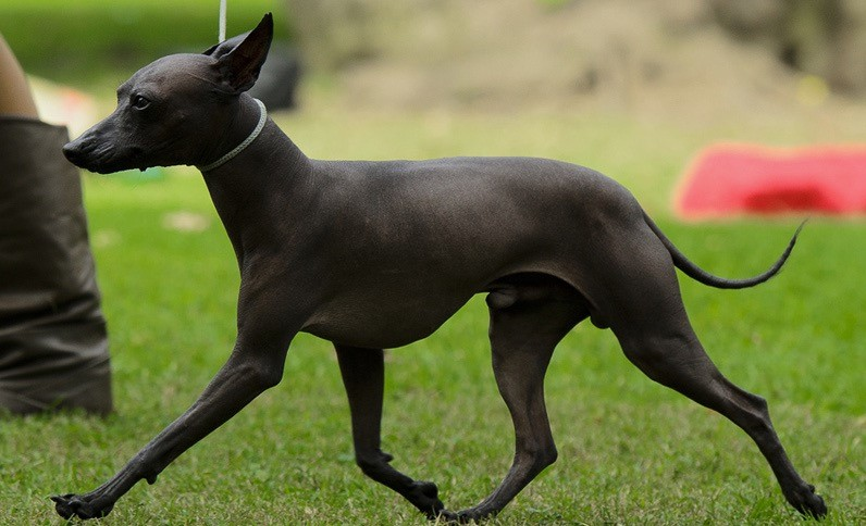 Лысая собака ксолоитцкуинтли: описание породы, характер, цена