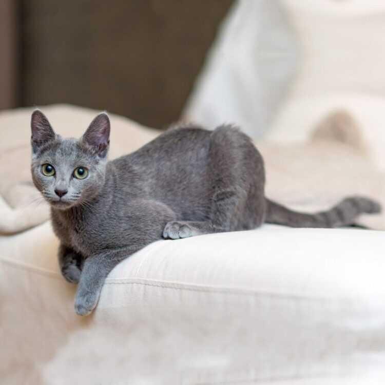 Кошка русская голубая: описание породы и особенности содержания, уход и характер питомца