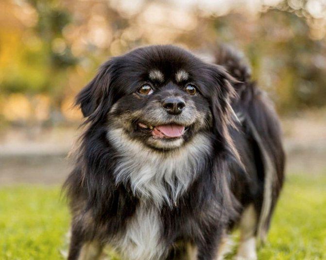 Маленькие породы собак — топ-35 пород с фото и кратким описанием