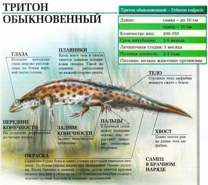 Испанский тритон - как обустроить аквариум, чем кормить и как размножаются тритоны? болезни тритонов