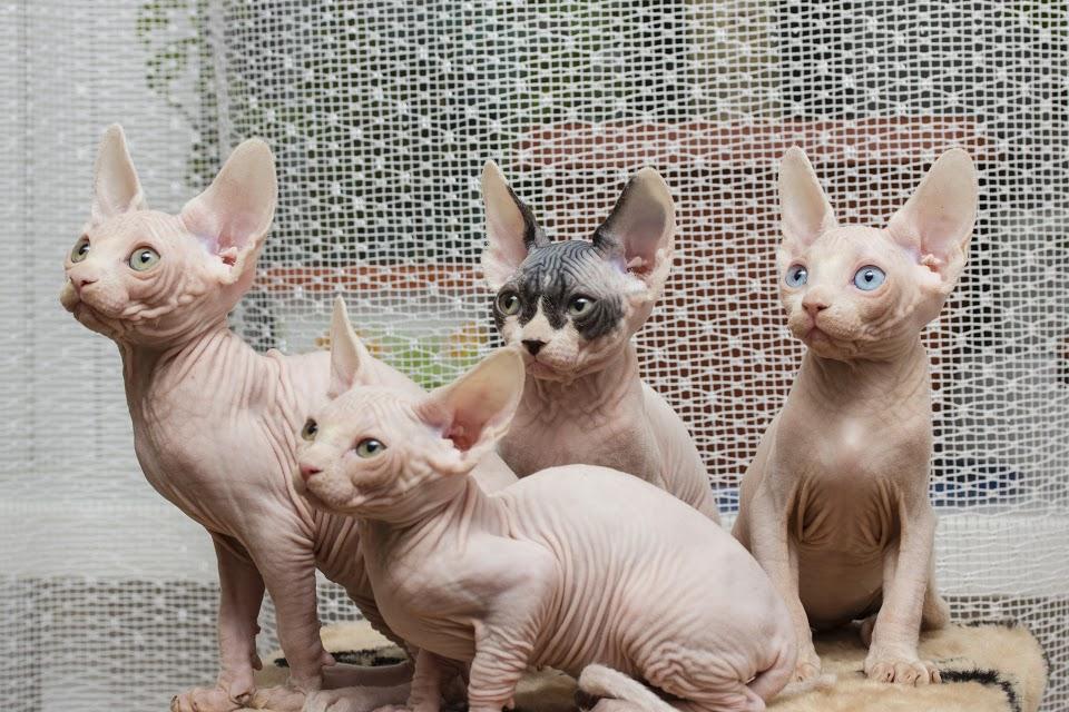 Канадский сфинкс ???? фото, описание, характер, факты, плюсы, минусы кошки ✔