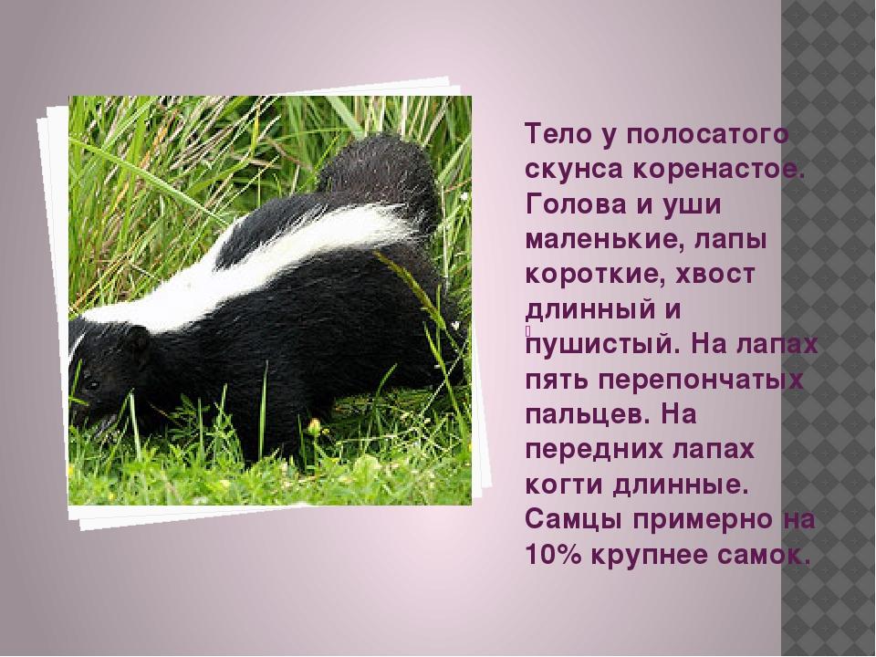 Полосатый скунс | описания и фото животных | некоммерческий учебно-познавательный интернет-портал зоогалактика
