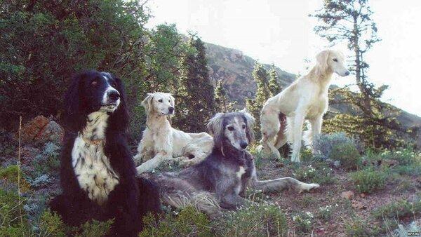Киргизская борзая или тайган, уникальная собака под угрозой вымирания