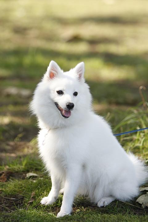Японский шпиц - порода собак: характер, описание, уход фото, история, стоимость