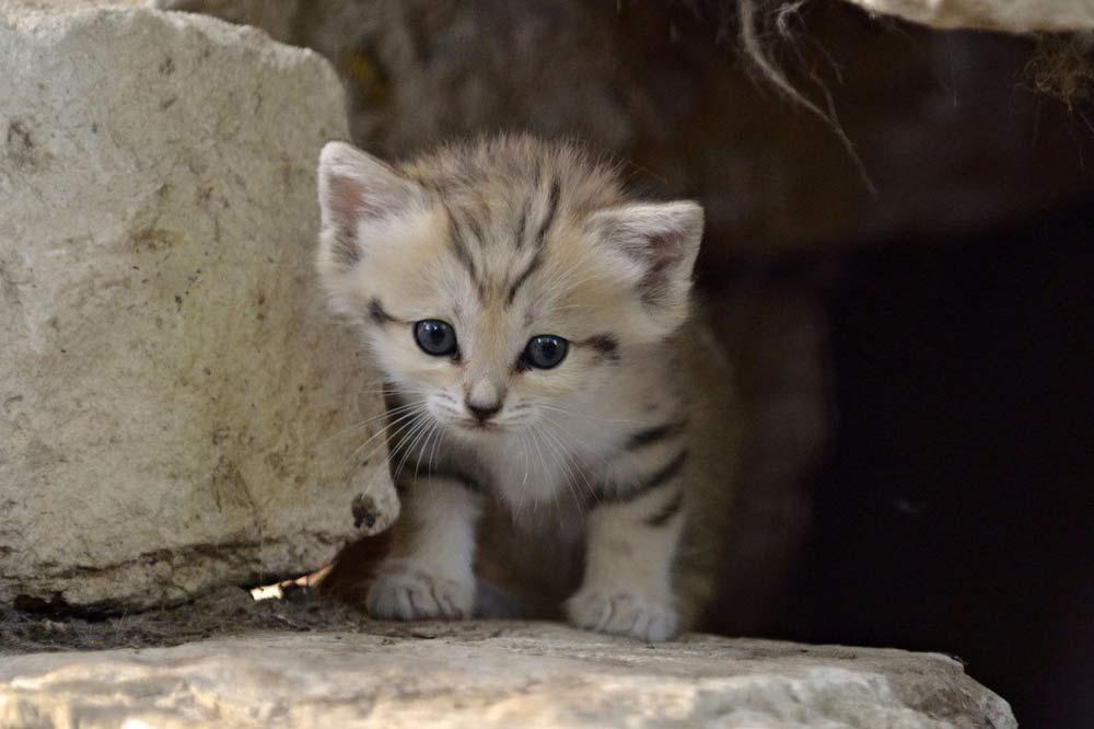 Дикие кошки: виды, отличия, черты, особенности, питание, фото, видео - мир кошек
