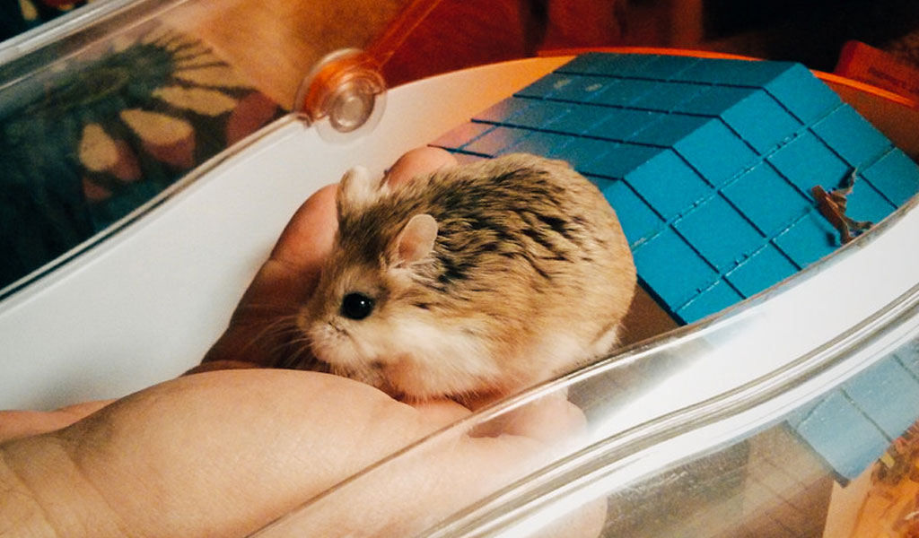 ᐉ как дрессировать хомяка в домашних условиях? - zoomanji.ru