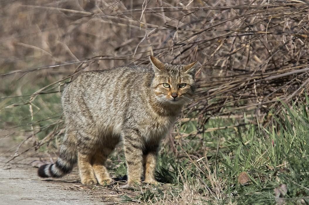Камышовый кот фото описание, экстерьер, здоровье и содержание в неволе