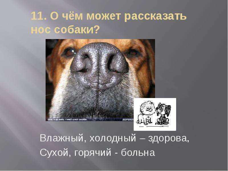 Почему сухой нос у собаки: причины, что делать, как лечить