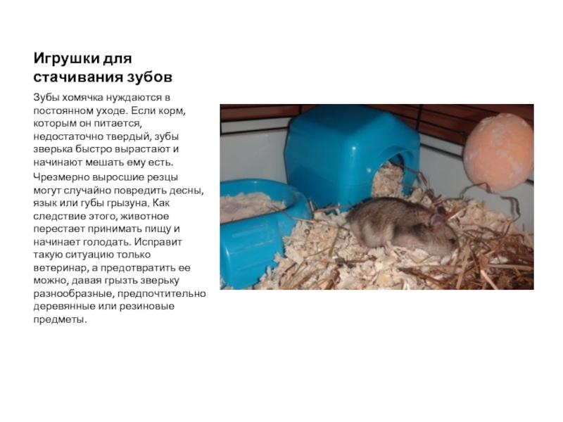 Уход за хомяками: правила содержания грызуна в домашних условиях