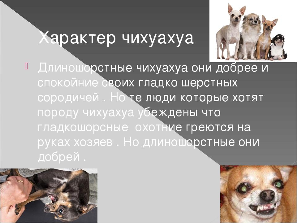 ᐉ чихуахуа мини уход и содержание кормление, чем кормить щенка чихуа? - zoomanji.ru