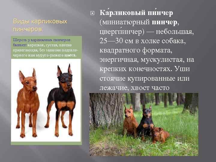 Цвергпинчер: плюсы и минусы породы, описание характера, фото