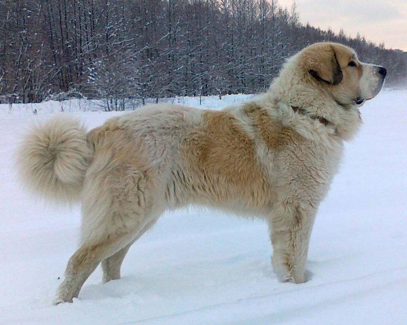 Американский мастиф — фото, описание породы собак, особенности