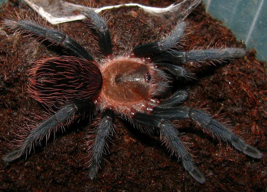 Содержание паука-птицееда брахипельма ваганс в домашних условиях