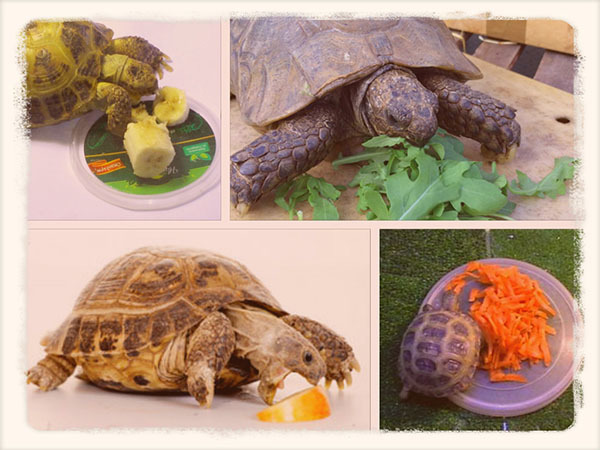 Чем кормить сухопутную черепаху в домашних условиях: рацион питания и выбор корма для среднеазиатской и других сухопутных черепах