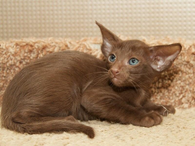 Кошка гавана