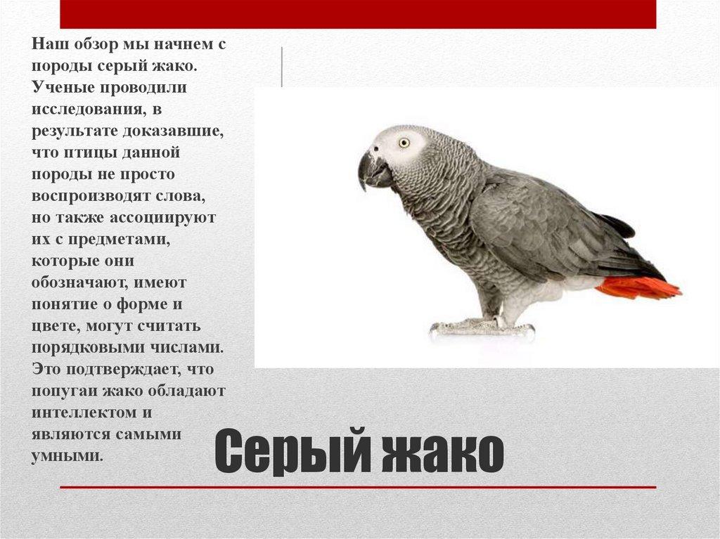 Сколько живут попугаи жако в природе и в домашних условиях