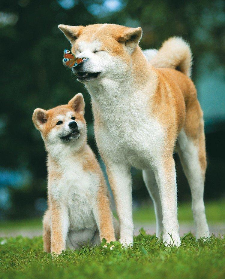 Акита-ину: описание породы иеёхарактеристика