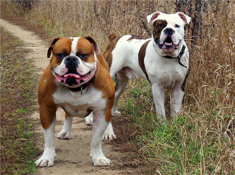 Староанглийский бульдог: фото, описание и характеристика породы, уход | все о собаках