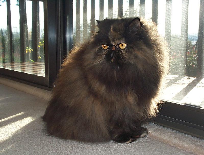 Топ-10 самых умных пород кошек — domovod.guru