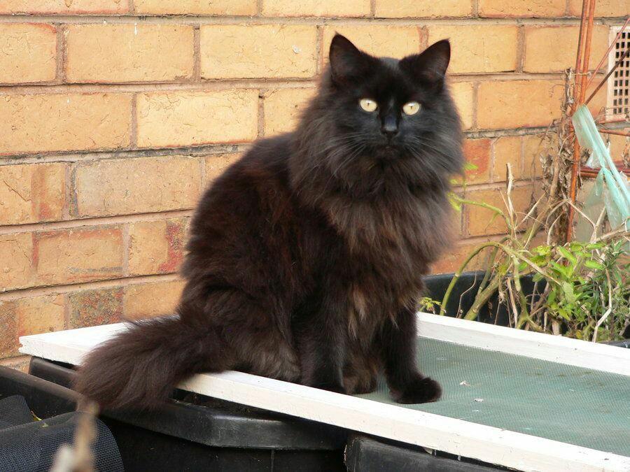Шантильи-тиффани: описание породы кошек, характер, отзывы (с фото и видео)
