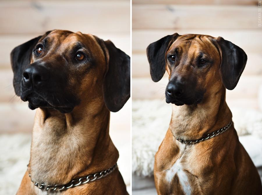 Тайский (вьетнамский) риджбек: описание породы с фото, характеристика, щенки, цена