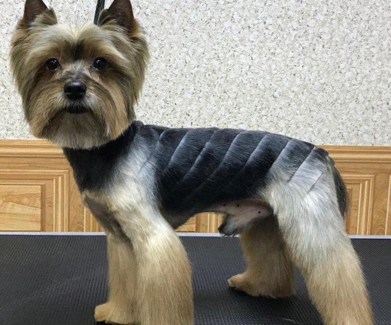 Как подстричь йорка: домашний салон красоты для собачек