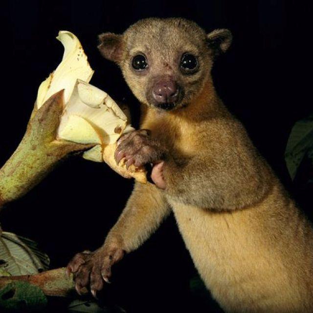 Кинкажу. среда обитания и образ жизни кинкажу | животный мир