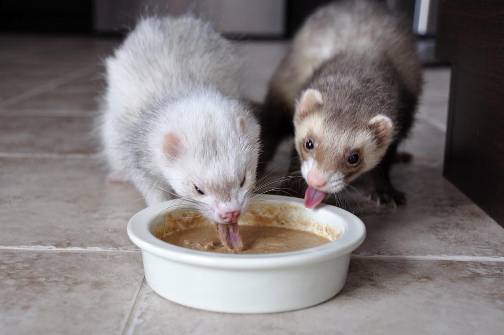 Чем кормить хорька в домашних условиях, что ест хорек