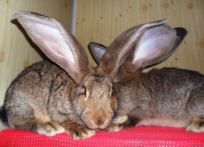 Фландр – кролик-гигант из бельгии