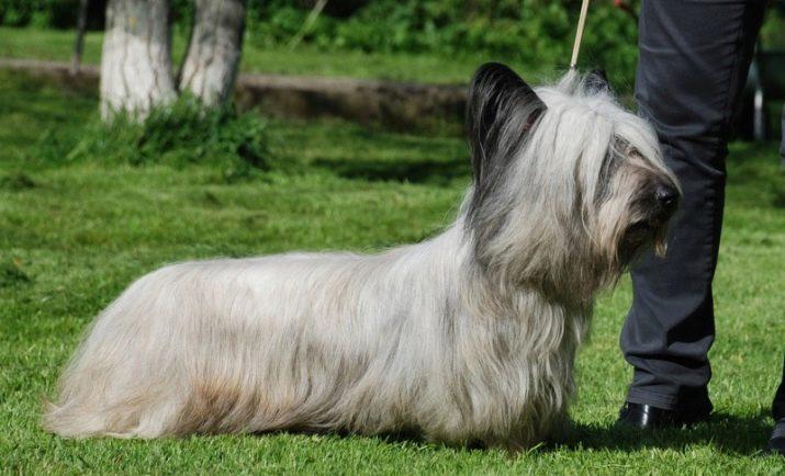 Порода скай терьер: описание, характер, уход (с фото) | все о собаках