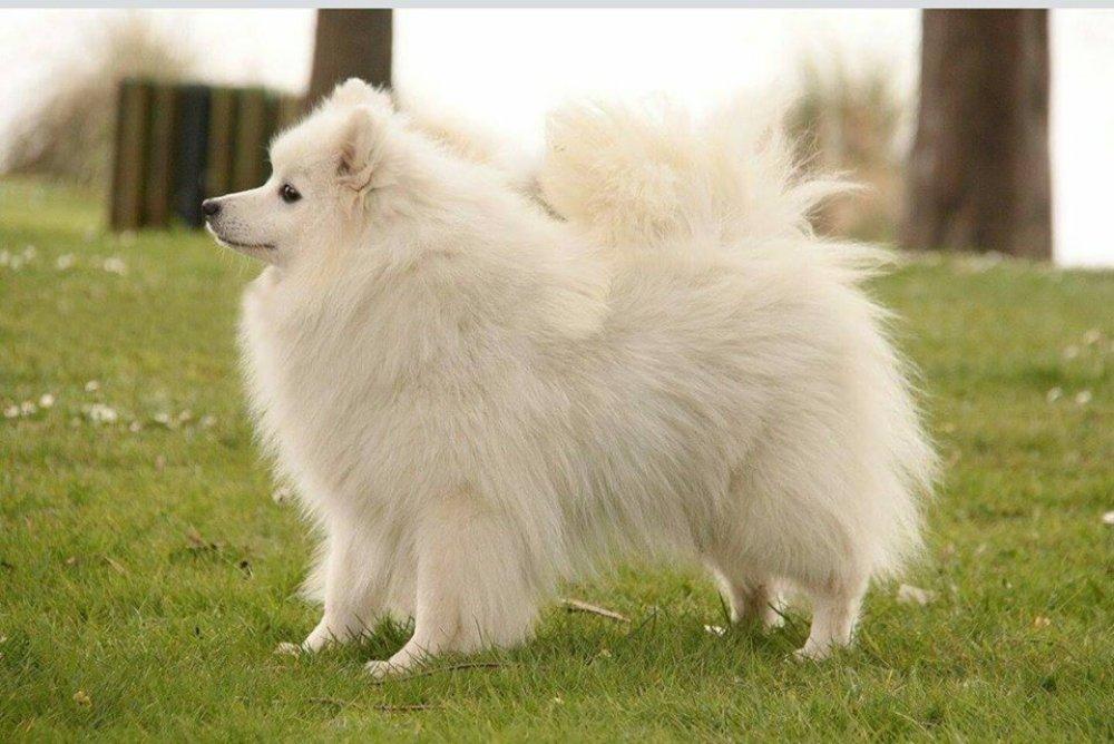 Японский шпиц — собака удивительной красоты и доброго, уживчивого нрава ⋆ собакапедия