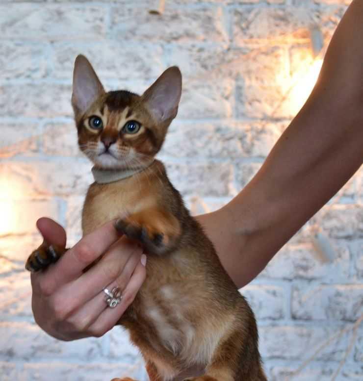 Чаузи (хауси): описание породы, фото кошки, характер и поведение, отзывы владельцев