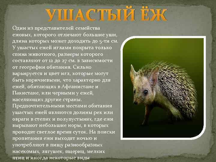 Еж обыкновенный – отважный странник. описание и фото ежа обыкновенного
