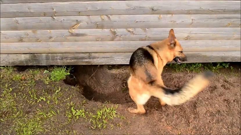 Почему воет собака во дворе приметы. к чему собака роет яму