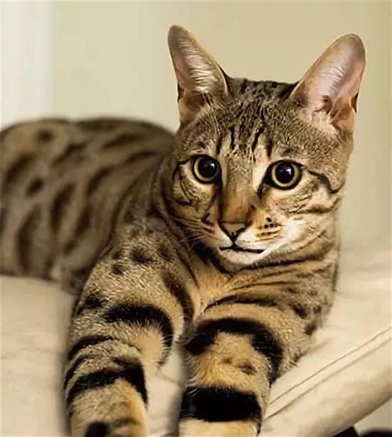 Гипоаллергенные породы кошек, не вызывающие аллергию