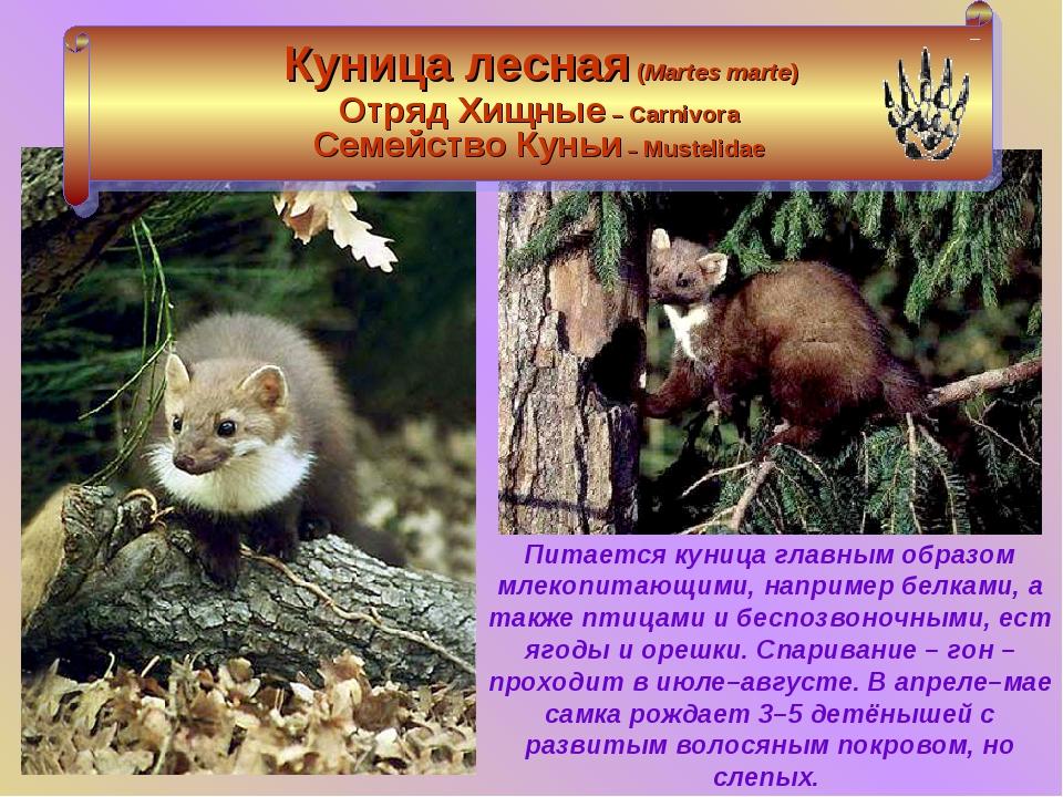 Как выглядит куница: описание вида, образ жизни лесного зверька, его главные враги