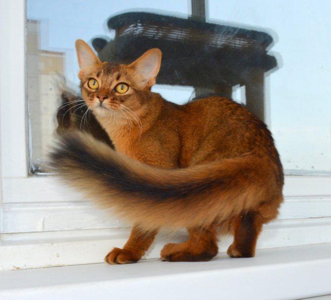 Сомалийская кошка: история происхождения, описание породы, уход