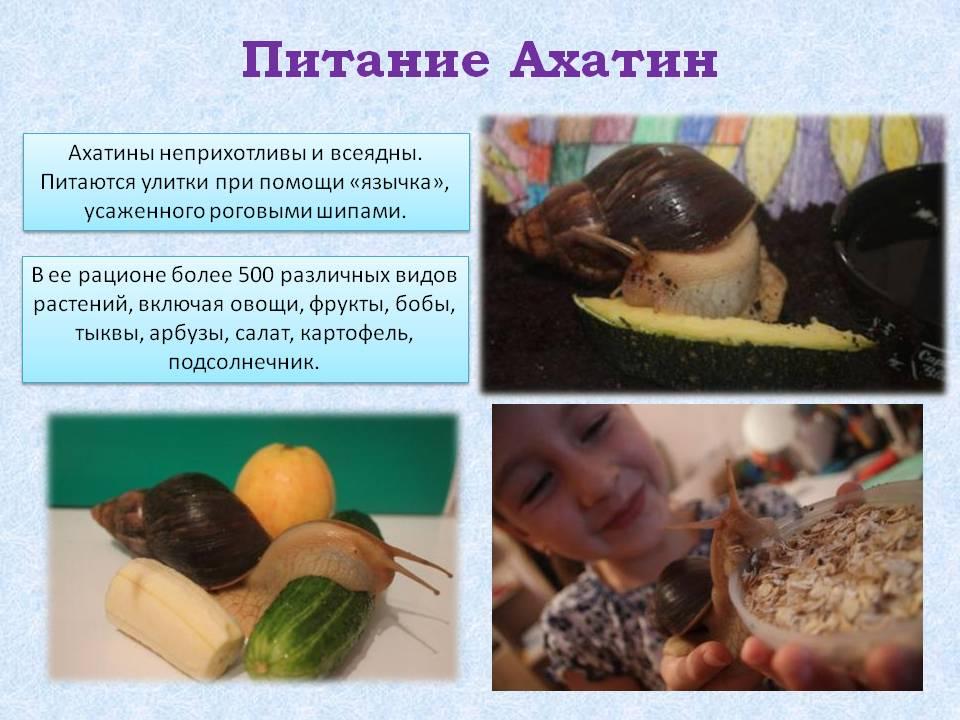 Чем кормить улиток-ахатин. режим кормления