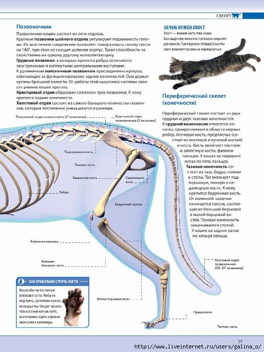 Анатомия кошки внутренние органы атлас
